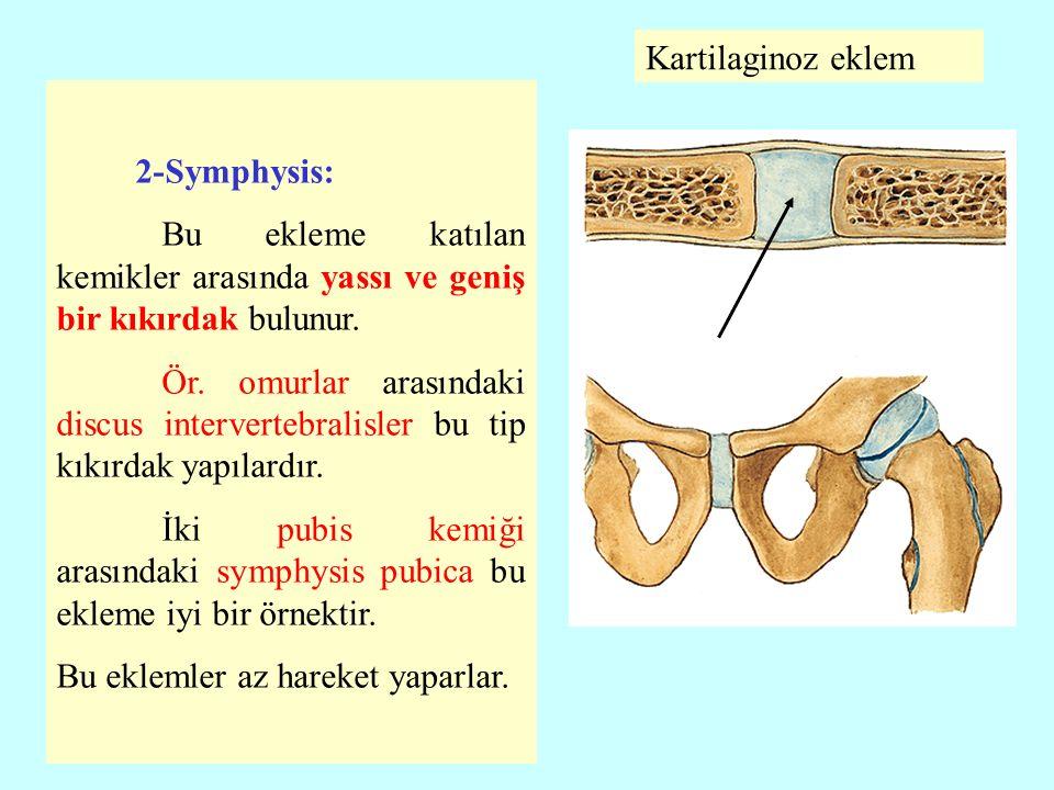 Kartilaginoz eklem 2-Symphysis: Bu ekleme katılan kemikler arasında yassı ve geniş bir kıkırdak bulunur.