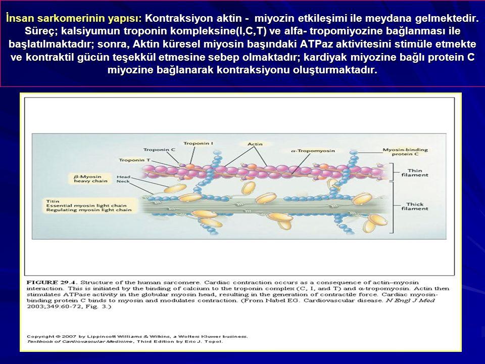 İnsan sarkomerinin yapısı: Kontraksiyon aktin - miyozin etkileşimi ile meydana gelmektedir.
