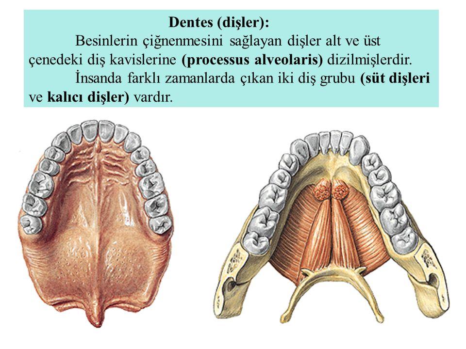 Dentes (dişler):