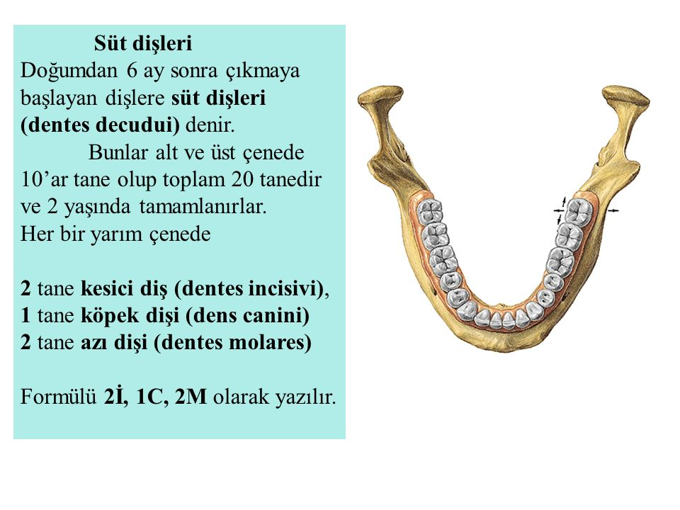 Süt dişleri Doğumdan 6 ay sonra çıkmaya başlayan dişlere süt dişleri (dentes decudui) denir.