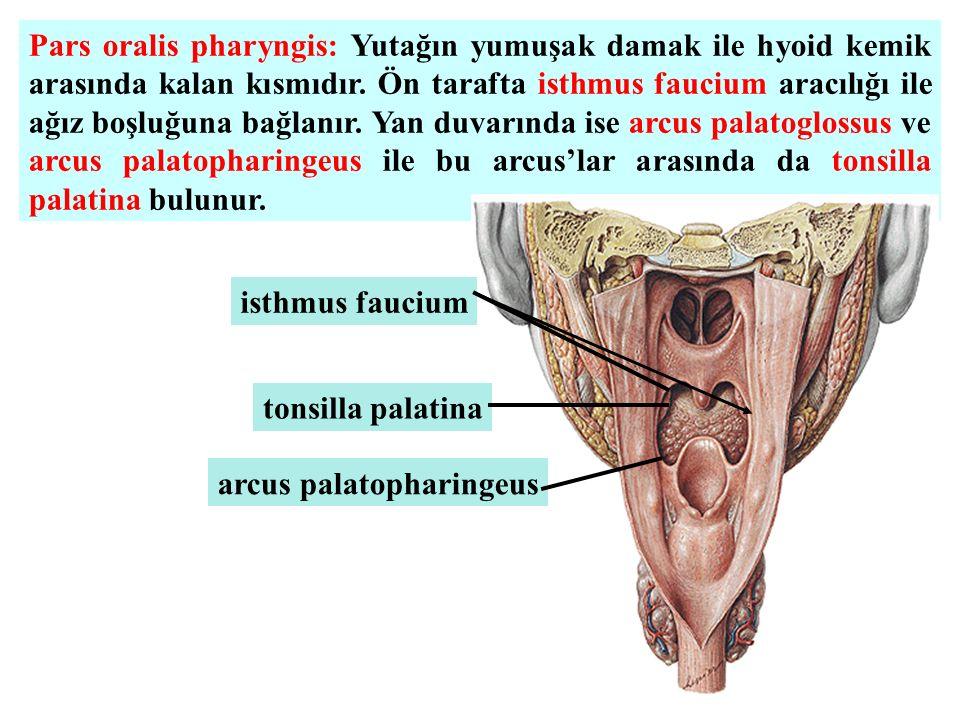 Pars oralis pharyngis: Yutağın yumuşak damak ile hyoid kemik arasında kalan kısmıdır. Ön tarafta isthmus faucium aracılığı ile ağız boşluğuna bağlanır. Yan duvarında ise arcus palatoglossus ve arcus palatopharingeus ile bu arcus'lar arasında da tonsilla palatina bulunur.