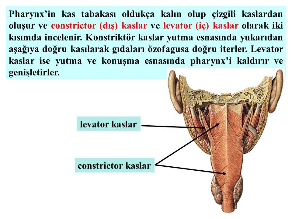 Pharynx'in kas tabakası oldukça kalın olup çizgili kaslardan oluşur ve constrictor (dış) kaslar ve levator (iç) kaslar olarak iki kısımda incelenir. Konstriktör kaslar yutma esnasında yukarıdan aşağıya doğru kasılarak gıdaları özofagusa doğru iterler. Levator kaslar ise yutma ve konuşma esnasında pharynx'i kaldırır ve genişletirler.