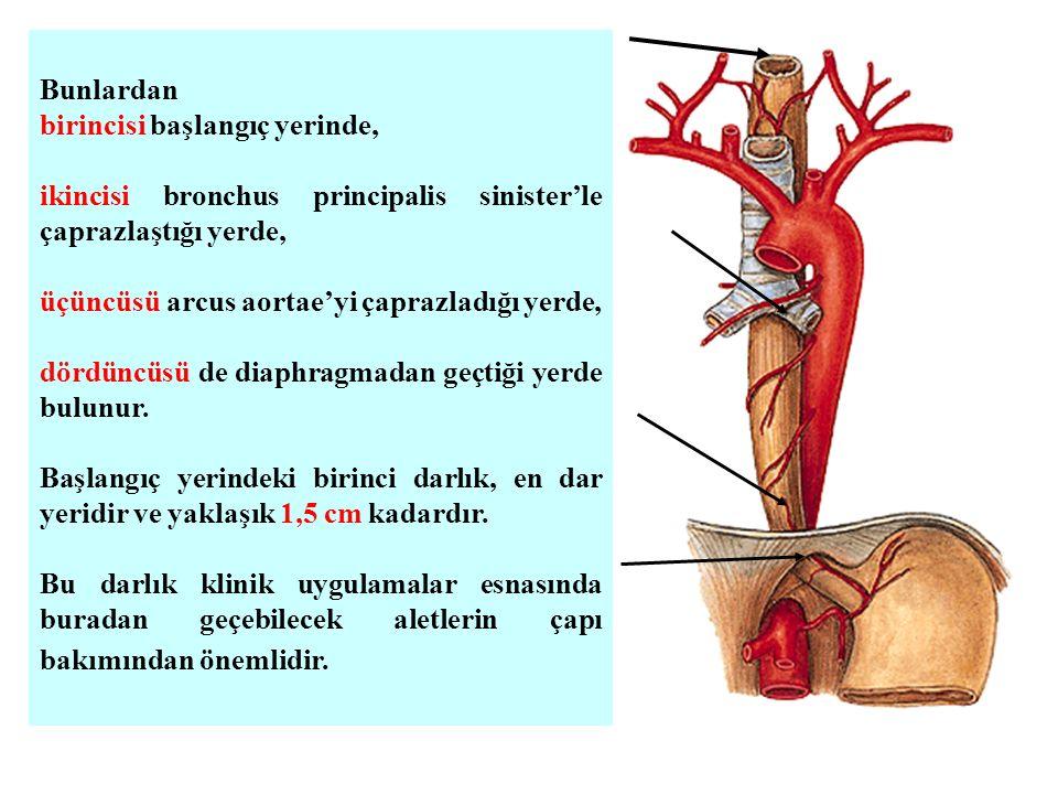 Bunlardan birincisi başlangıç yerinde, ikincisi bronchus principalis sinister'le çaprazlaştığı yerde,