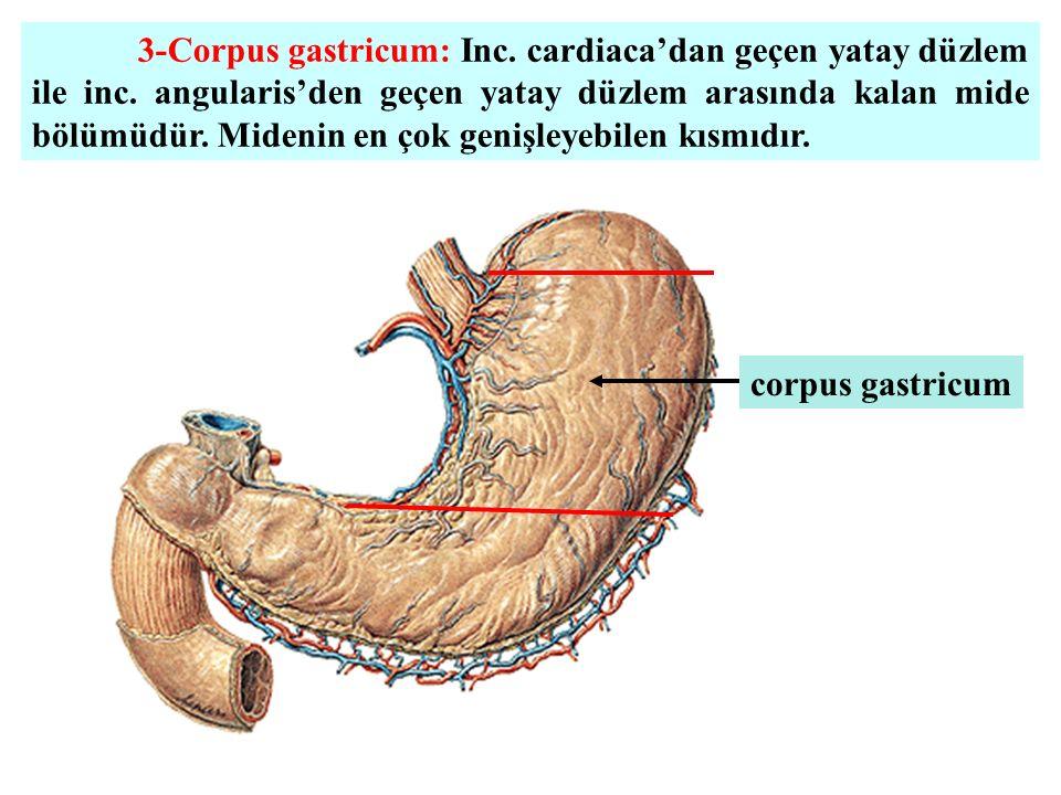 3-Corpus gastricum: Inc. cardiaca'dan geçen yatay düzlem ile inc