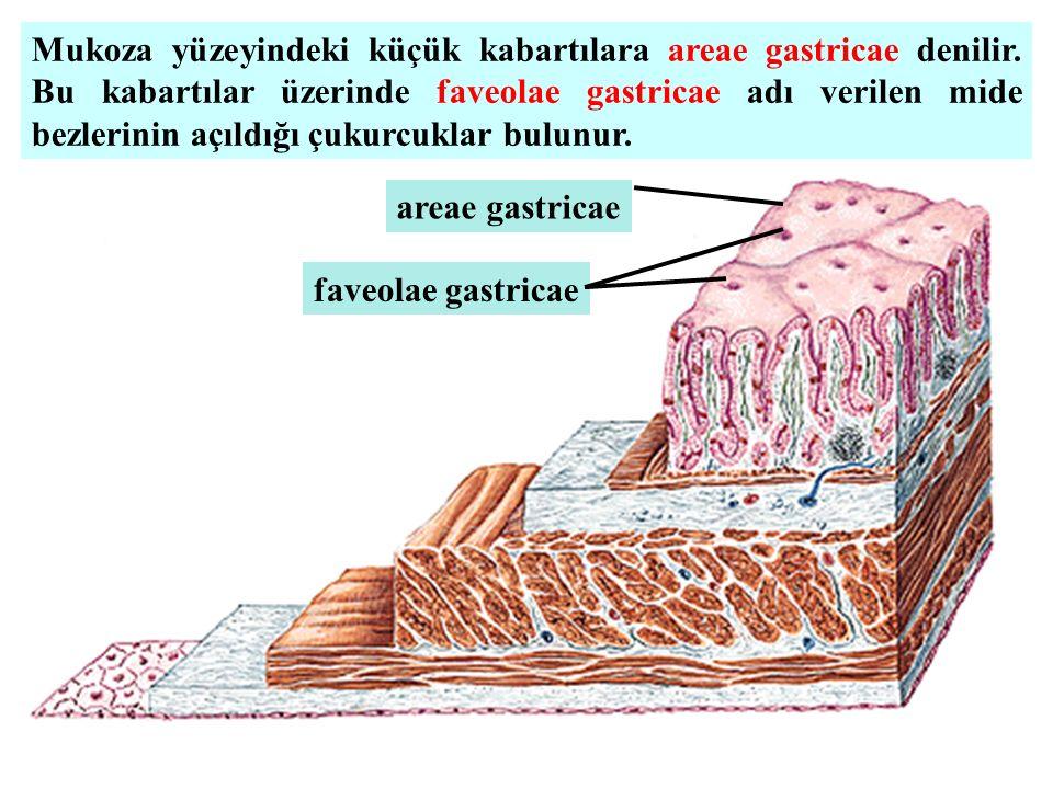 Mukoza yüzeyindeki küçük kabartılara areae gastricae denilir