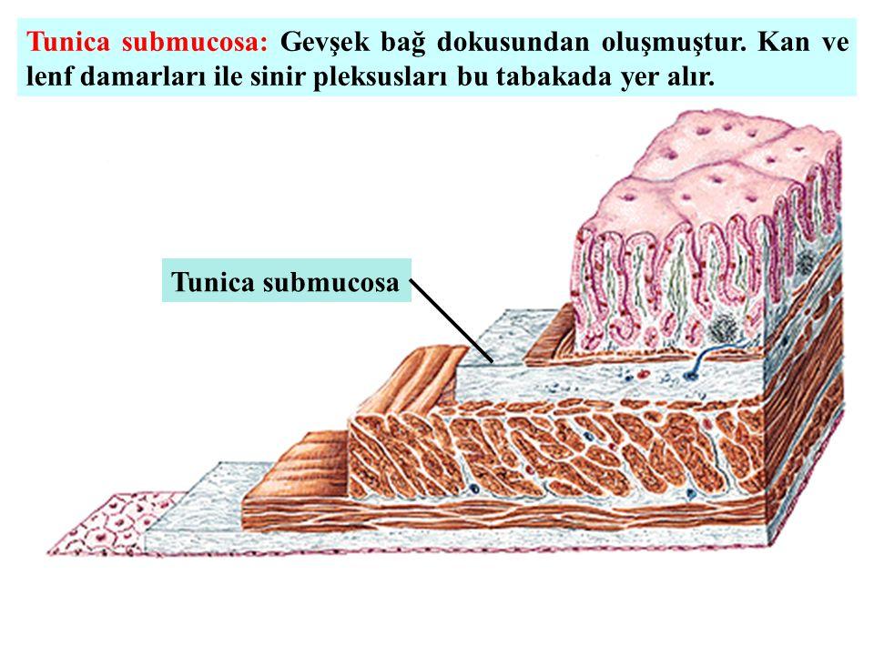 Tunica submucosa: Gevşek bağ dokusundan oluşmuştur