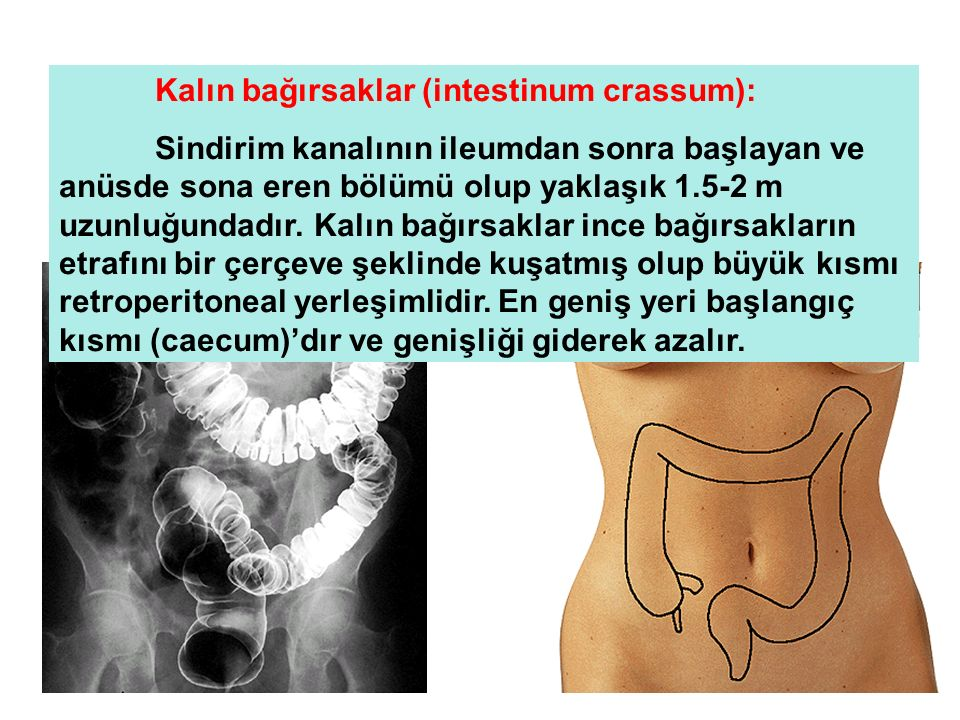 Kalın bağırsaklar (intestinum crassum):