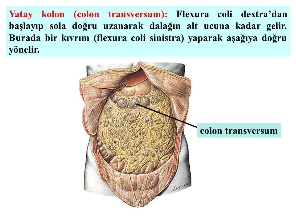 Yatay kolon (colon transversum): Flexura coli dextra'dan başlayıp sola doğru uzanarak dalağın alt ucuna kadar gelir. Burada bir kıvrım (flexura coli sinistra) yaparak aşağıya doğru yönelir.