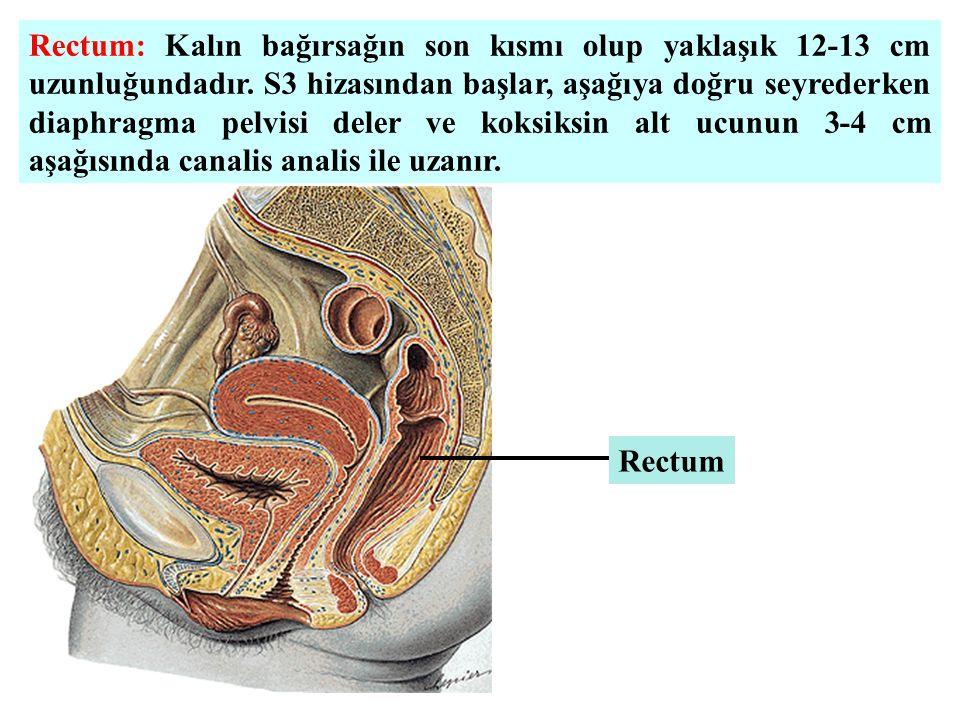 Rectum: Kalın bağırsağın son kısmı olup yaklaşık 12-13 cm uzunluğundadır. S3 hizasından başlar, aşağıya doğru seyrederken diaphragma pelvisi deler ve koksiksin alt ucunun 3-4 cm aşağısında canalis analis ile uzanır.