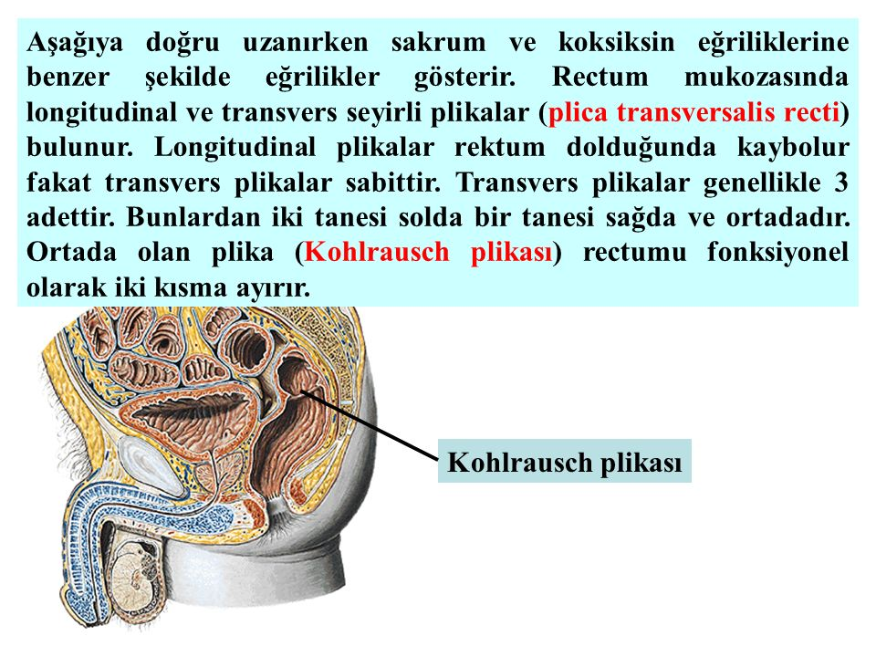 Aşağıya doğru uzanırken sakrum ve koksiksin eğriliklerine benzer şekilde eğrilikler gösterir. Rectum mukozasında longitudinal ve transvers seyirli plikalar (plica transversalis recti) bulunur. Longitudinal plikalar rektum dolduğunda kaybolur fakat transvers plikalar sabittir. Transvers plikalar genellikle 3 adettir. Bunlardan iki tanesi solda bir tanesi sağda ve ortadadır. Ortada olan plika (Kohlrausch plikası) rectumu fonksiyonel olarak iki kısma ayırır.