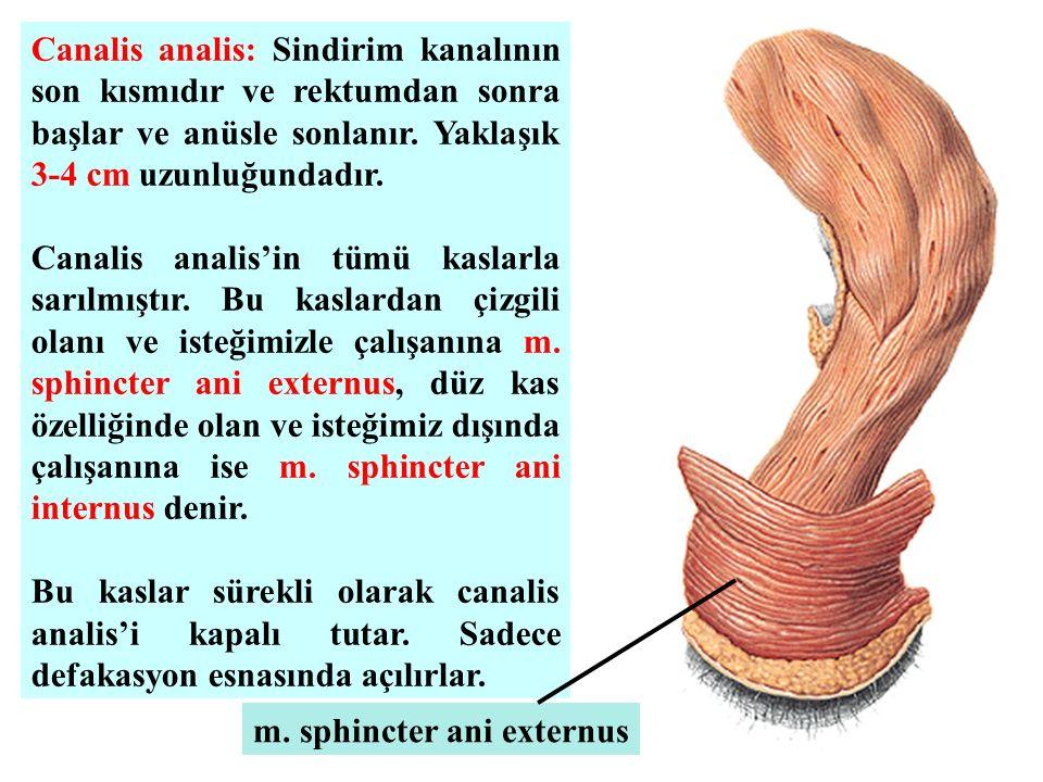 Canalis analis: Sindirim kanalının son kısmıdır ve rektumdan sonra başlar ve anüsle sonlanır. Yaklaşık 3-4 cm uzunluğundadır.