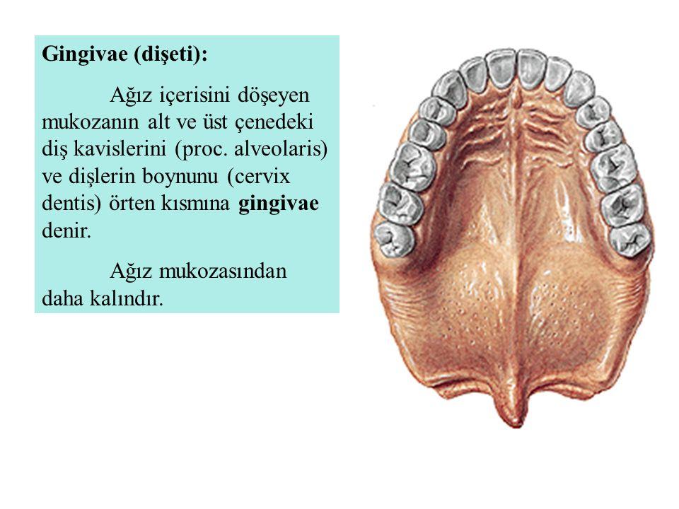 Gingivae (dişeti):
