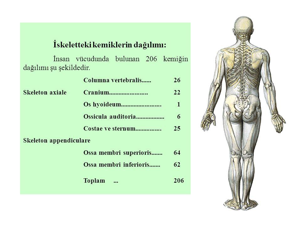 İskeletteki kemiklerin dağılımı: