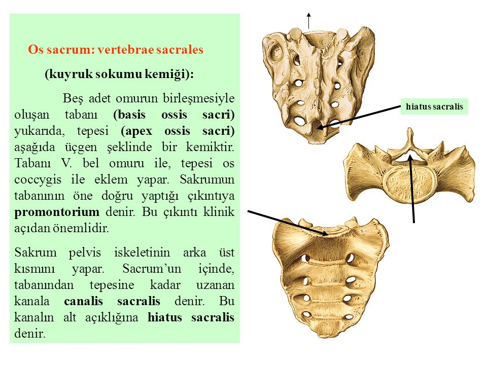 Os sacrum: vertebrae sacrales (kuyruk sokumu kemiği):