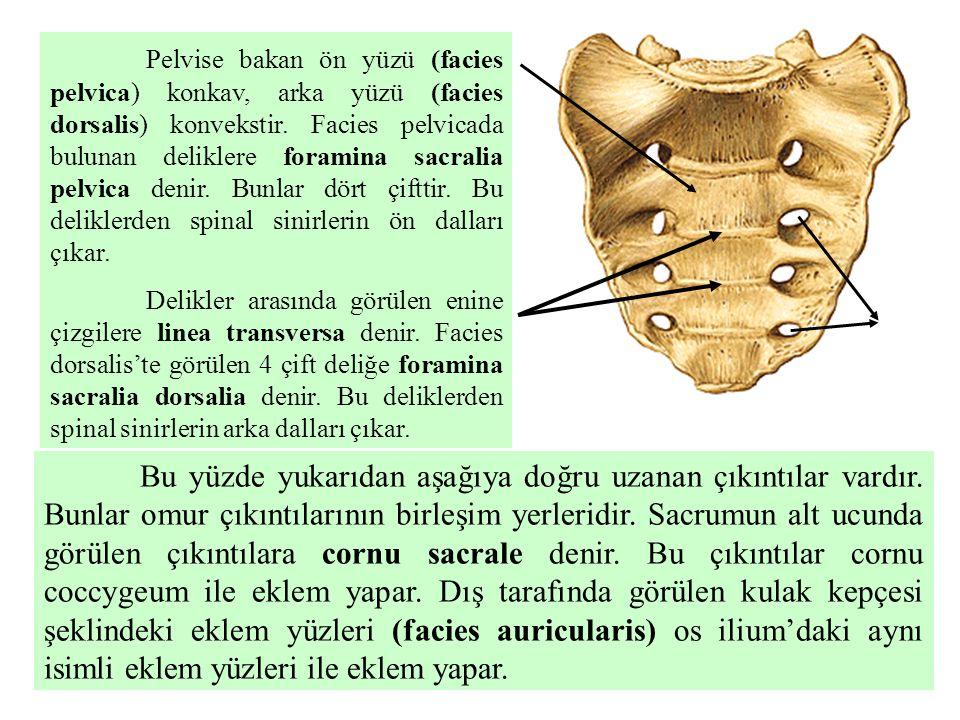 Pelvise bakan ön yüzü (facies pelvica) konkav, arka yüzü (facies dorsalis) konvekstir. Facies pelvicada bulunan deliklere foramina sacralia pelvica denir. Bunlar dört çifttir. Bu deliklerden spinal sinirlerin ön dalları çıkar.
