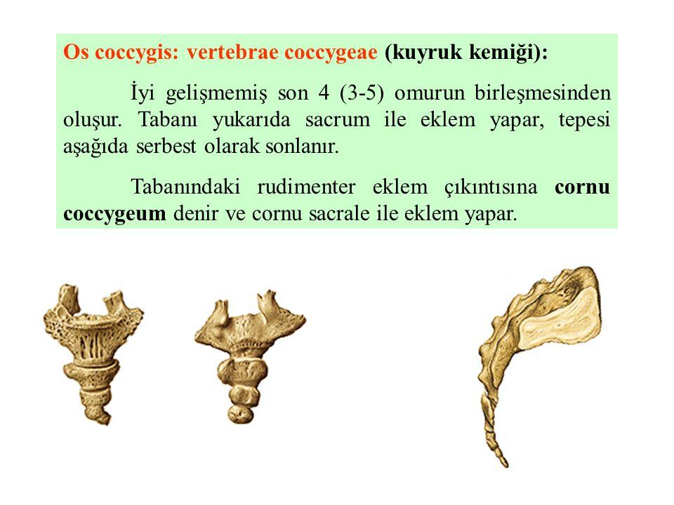 Os coccygis: vertebrae coccygeae (kuyruk kemiği):
