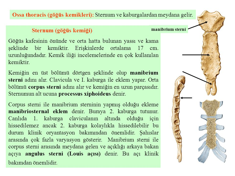 Sternum (göğüs kemiği)