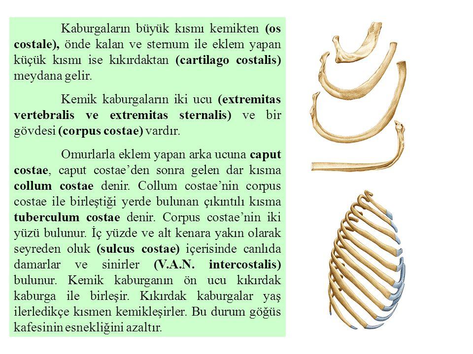 Kaburgaların büyük kısmı kemikten (os costale), önde kalan ve sternum ile eklem yapan küçük kısmı ise kıkırdaktan (cartilago costalis) meydana gelir.