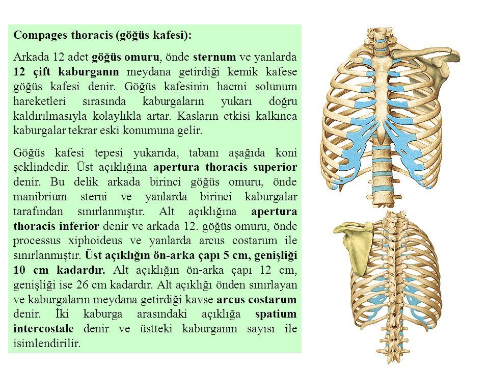 Compages thoracis (göğüs kafesi):