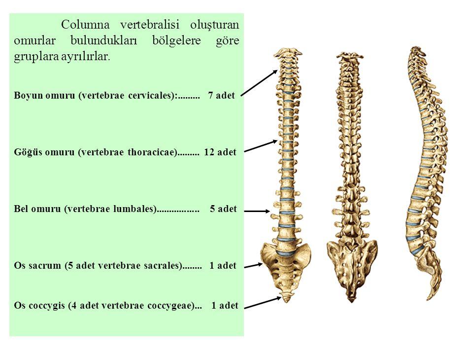 Columna vertebralisi oluşturan omurlar bulundukları bölgelere göre gruplara ayrılırlar.