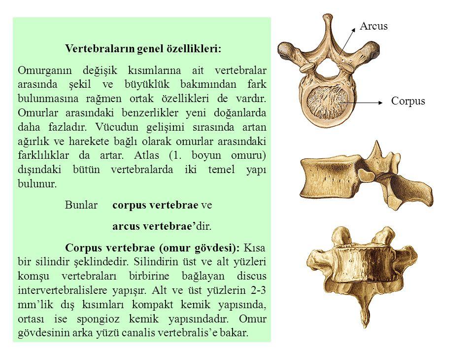 Vertebraların genel özellikleri: