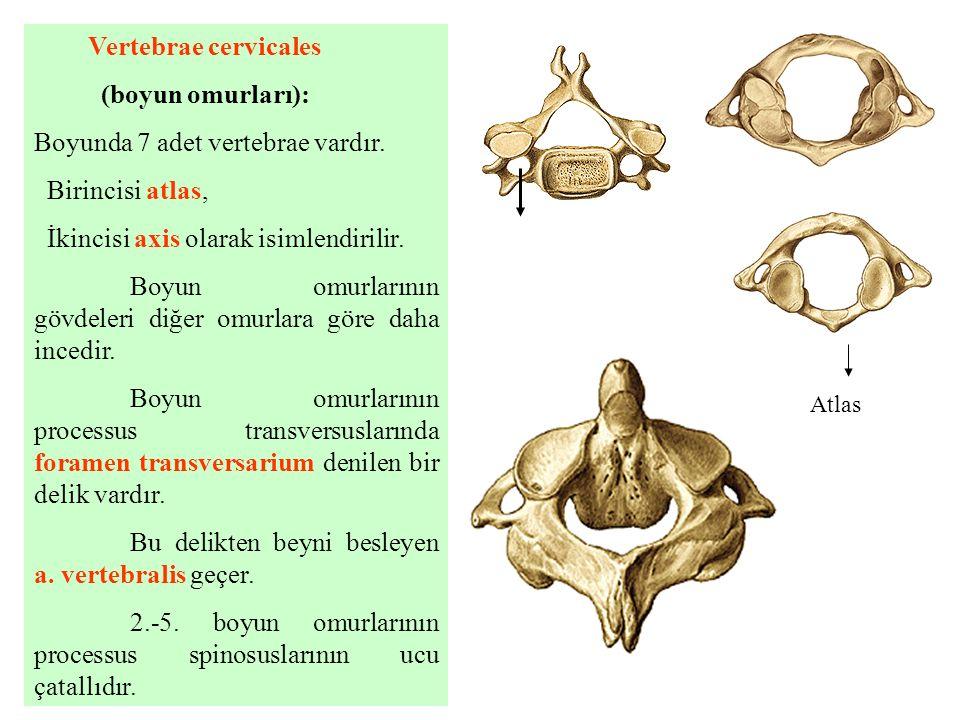 Boyunda 7 adet vertebrae vardır. Birincisi atlas,