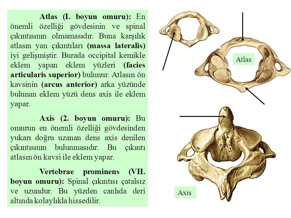 Atlas (I. boyun omuru): En önemli özelliği gövdesinin ve spinal çıkıntısının olmamasıdır. Buna karşılık atlasın yan çıkıntıları (massa lateralis) iyi gelişmiştir. Burada occipital kemikle eklem yapan eklem yüzleri (facies articularis superior) bulunur. Atlasın ön kavsinin (arcus anterior) arka yüzünde bulunan eklem yüzü dens axis ile eklem yapar.