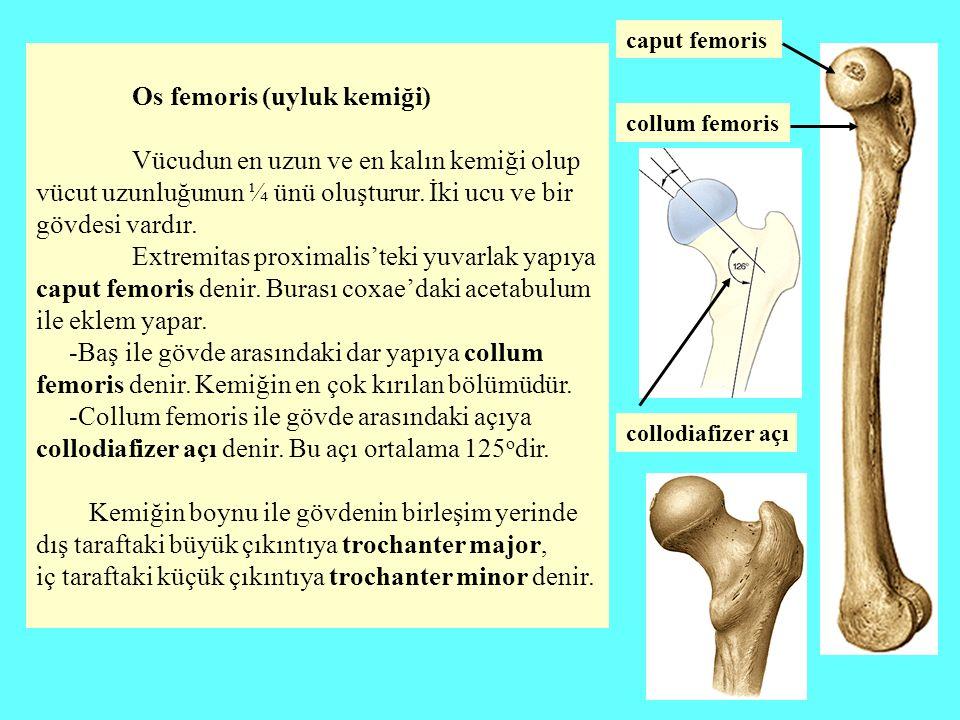 Os femoris (uyluk kemiği)