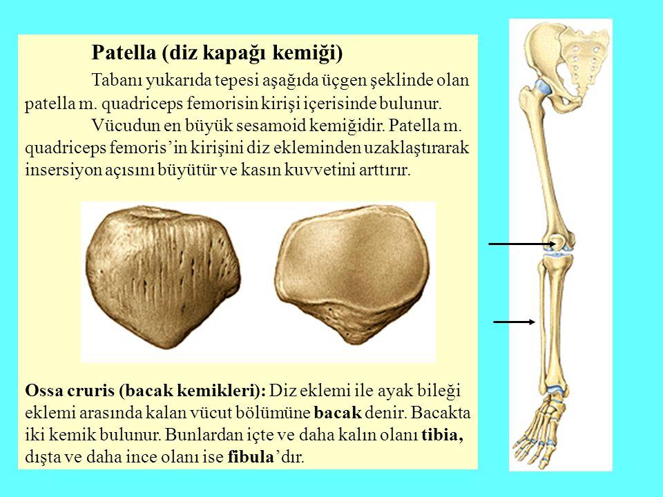 Patella (diz kapağı kemiği)