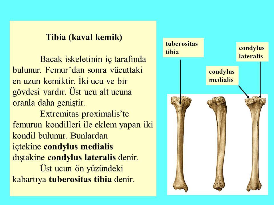 içtekine condylus medialis dıştakine condylus lateralis denir.