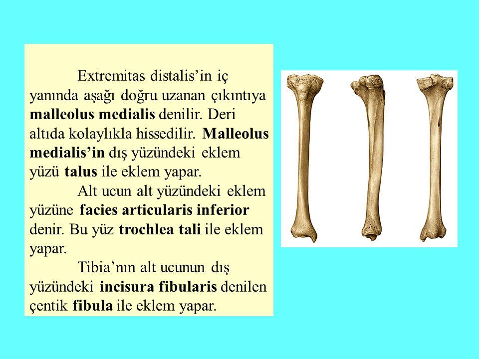 Extremitas distalis'in iç yanında aşağı doğru uzanan çıkıntıya malleolus medialis denilir. Deri altıda kolaylıkla hissedilir. Malleolus medialis'in dış yüzündeki eklem yüzü talus ile eklem yapar.