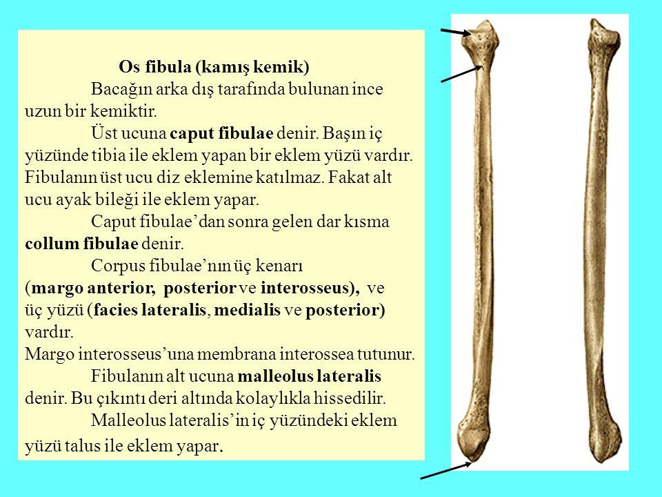 Os fibula (kamış kemik)