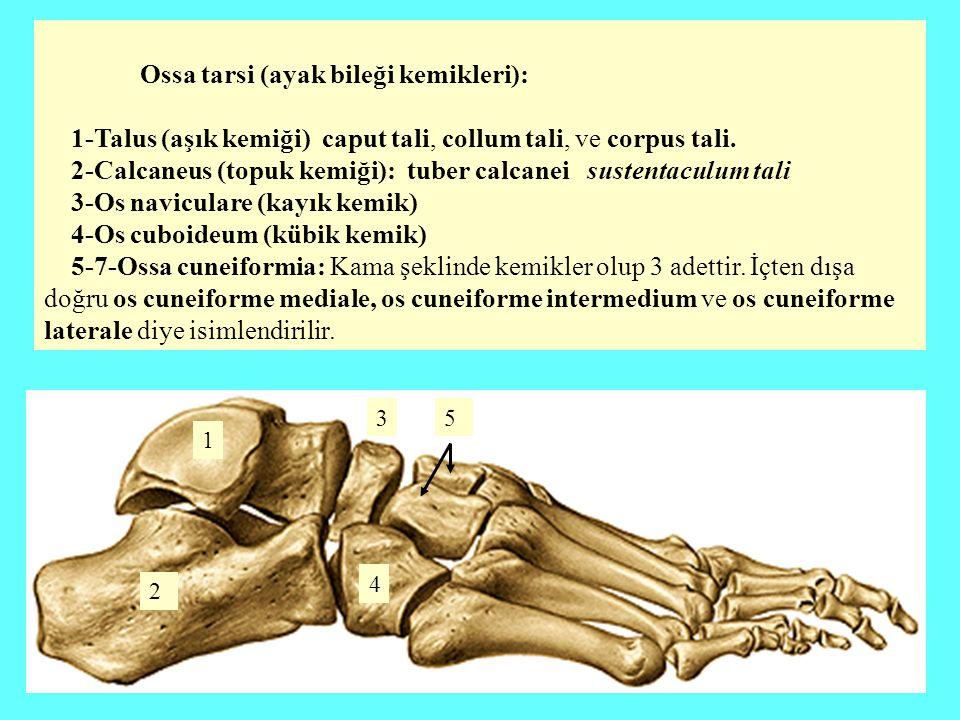 Ossa tarsi (ayak bileği kemikleri):