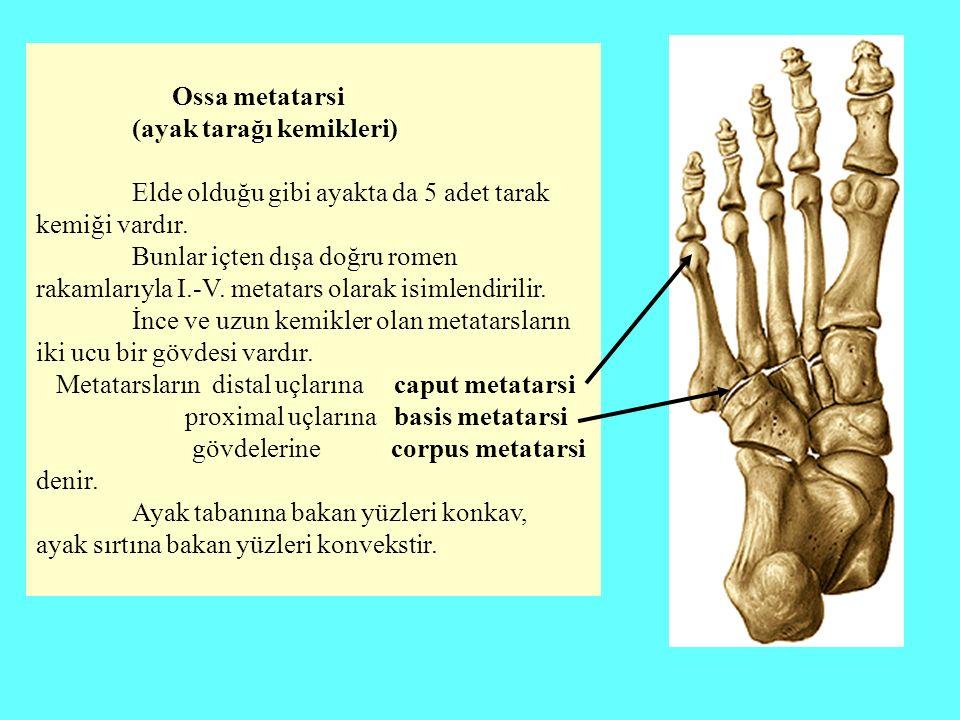 Ossa metatarsi (ayak tarağı kemikleri) Elde olduğu gibi ayakta da 5 adet tarak kemiği vardır.