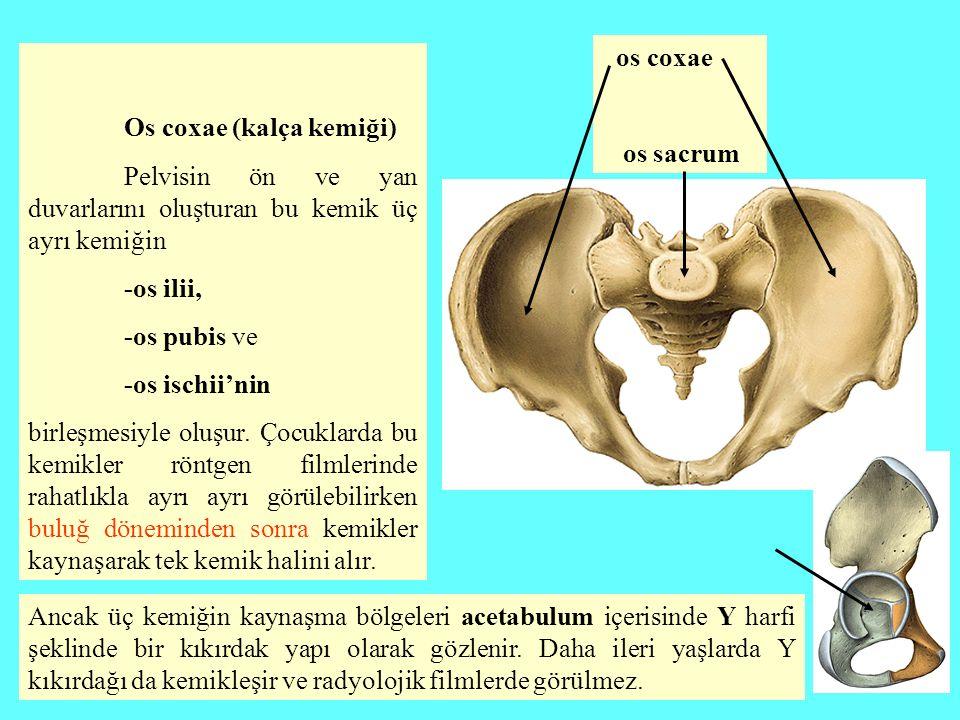 Os coxae (kalça kemiği)