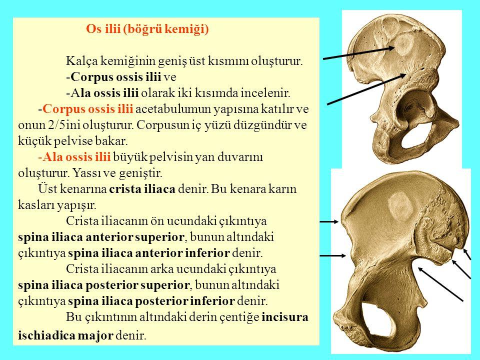 Os ilii (böğrü kemiği) Kalça kemiğinin geniş üst kısmını oluşturur. -Corpus ossis ilii ve. -Ala ossis ilii olarak iki kısımda incelenir.