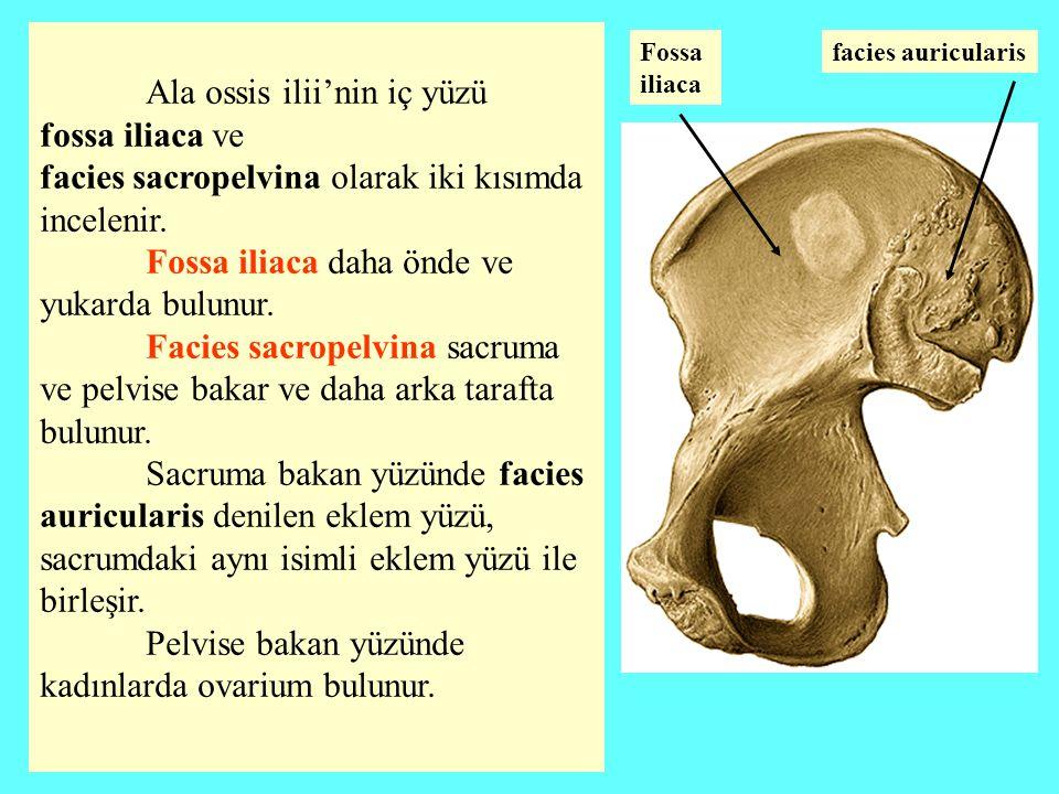 Ala ossis ilii'nin iç yüzü fossa iliaca ve