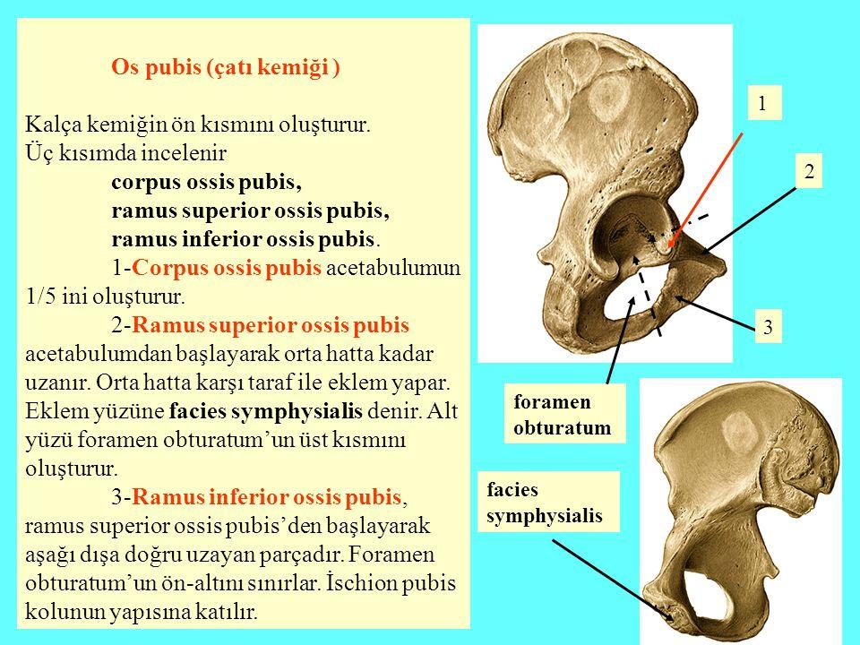 Kalça kemiğin ön kısmını oluşturur. Üç kısımda incelenir