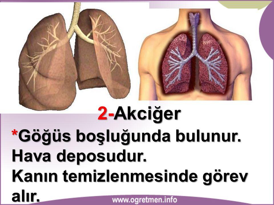 2-Akciğer *Göğüs boşluğunda bulunur. Hava deposudur.