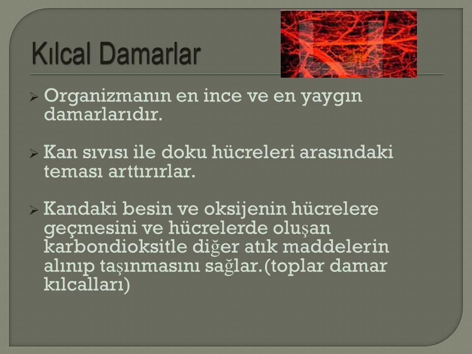 Kılcal Damarlar Organizmanın en ince ve en yaygın damarlarıdır.
