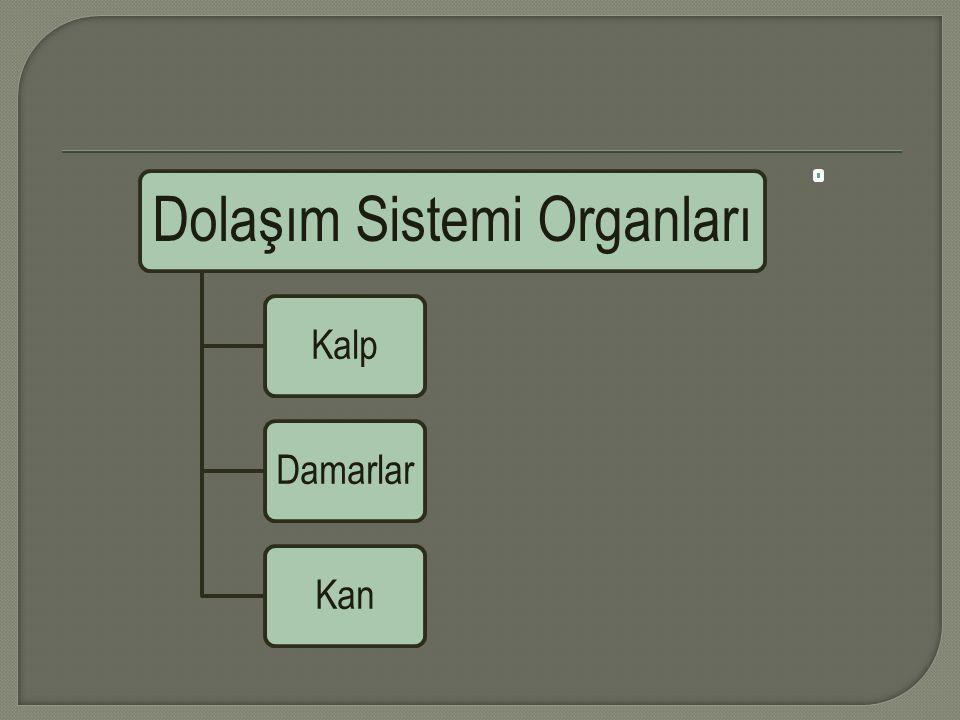 Dolaşım Sistemi Organları