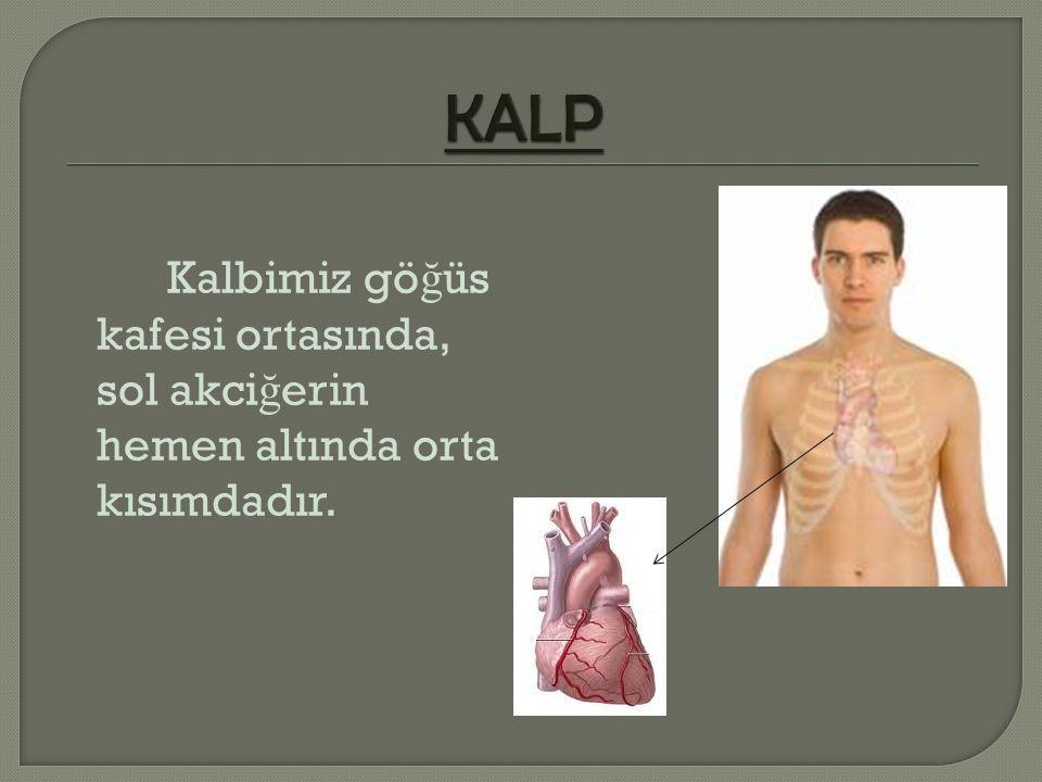 KALP Kalbimiz göğüs kafesi ortasında, sol akciğerin hemen altında orta kısımdadır.