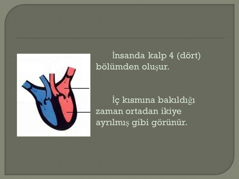 İnsanda kalp 4 (dört) bölümden oluşur