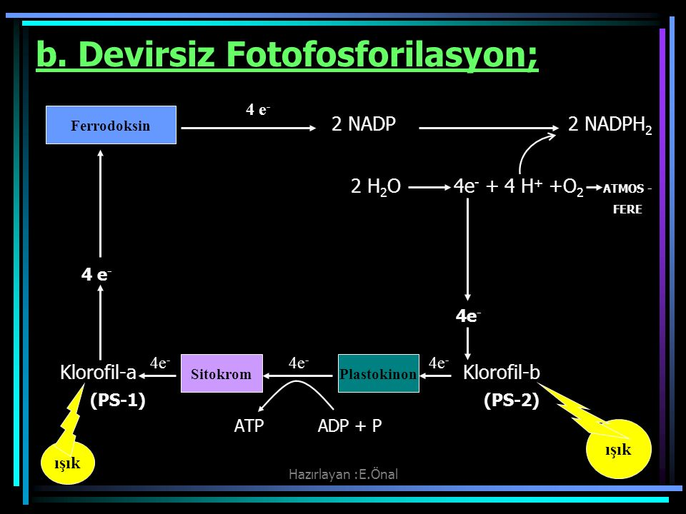 b. Devirsiz Fotofosforilasyon;