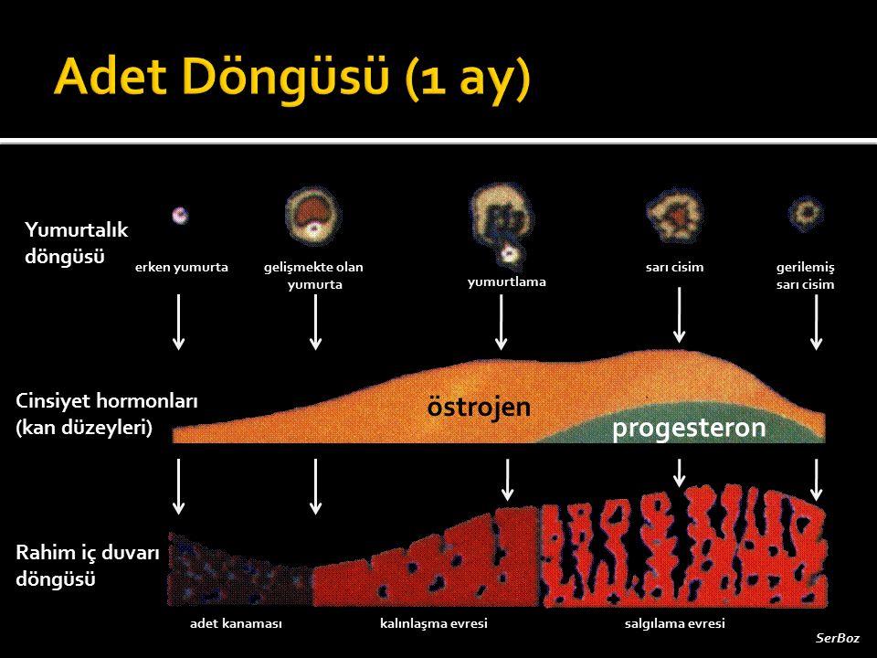 Adet Döngüsü (1 ay) östrojen progesteron Yumurtalık döngüsü
