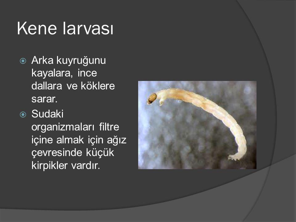 Kene larvası Arka kuyruğunu kayalara, ince dallara ve köklere sarar.