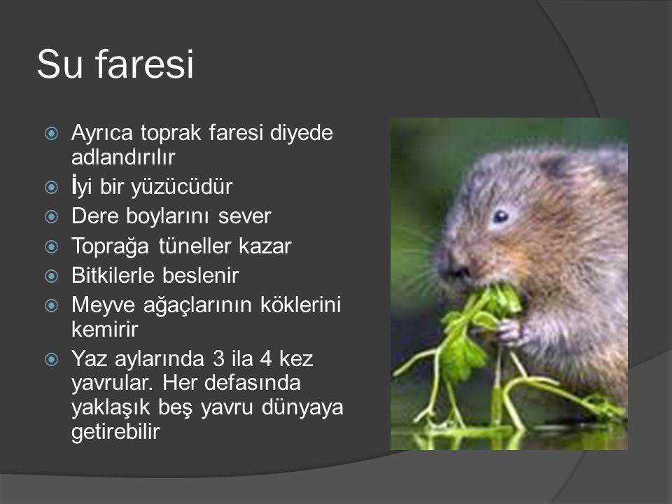 Su faresi Ayrıca toprak faresi diyede adlandırılır İyi bir yüzücüdür