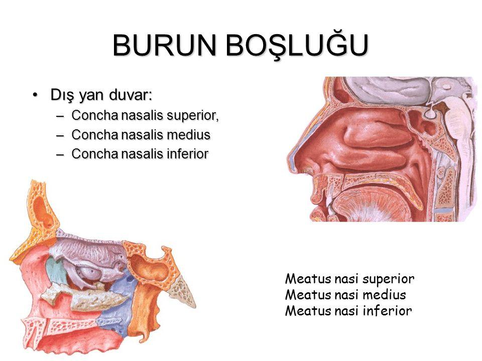 BURUN BOŞLUĞU Dış yan duvar: Concha nasalis superior,