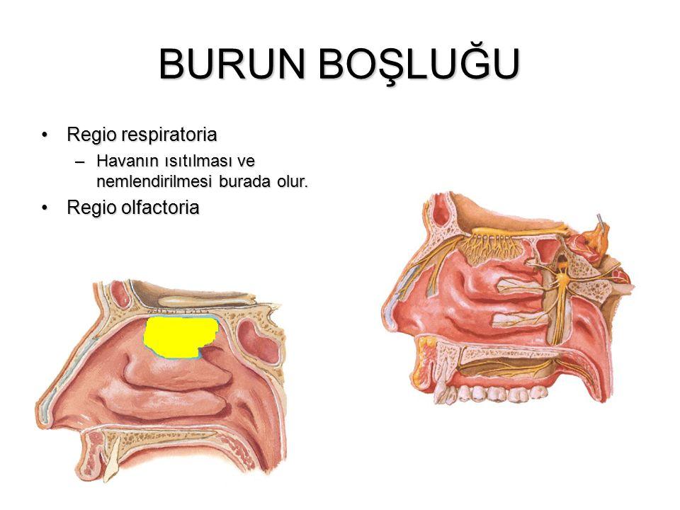 BURUN BOŞLUĞU Regio respiratoria Regio olfactoria