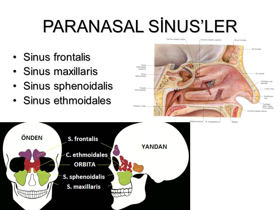 PARANASAL SİNUS'LER Sinus frontalis Sinus maxillaris